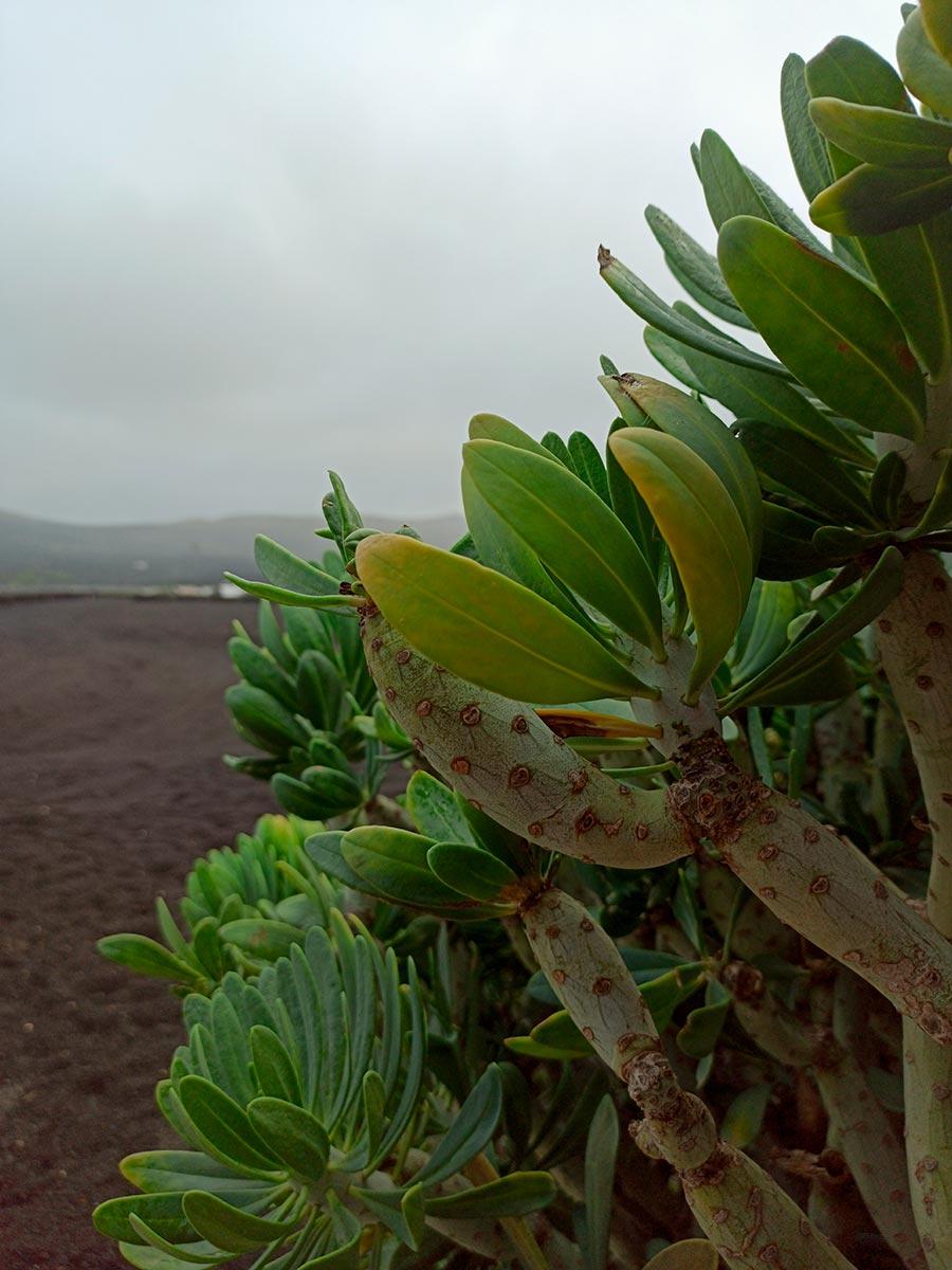 Cactus de Lanzarote.